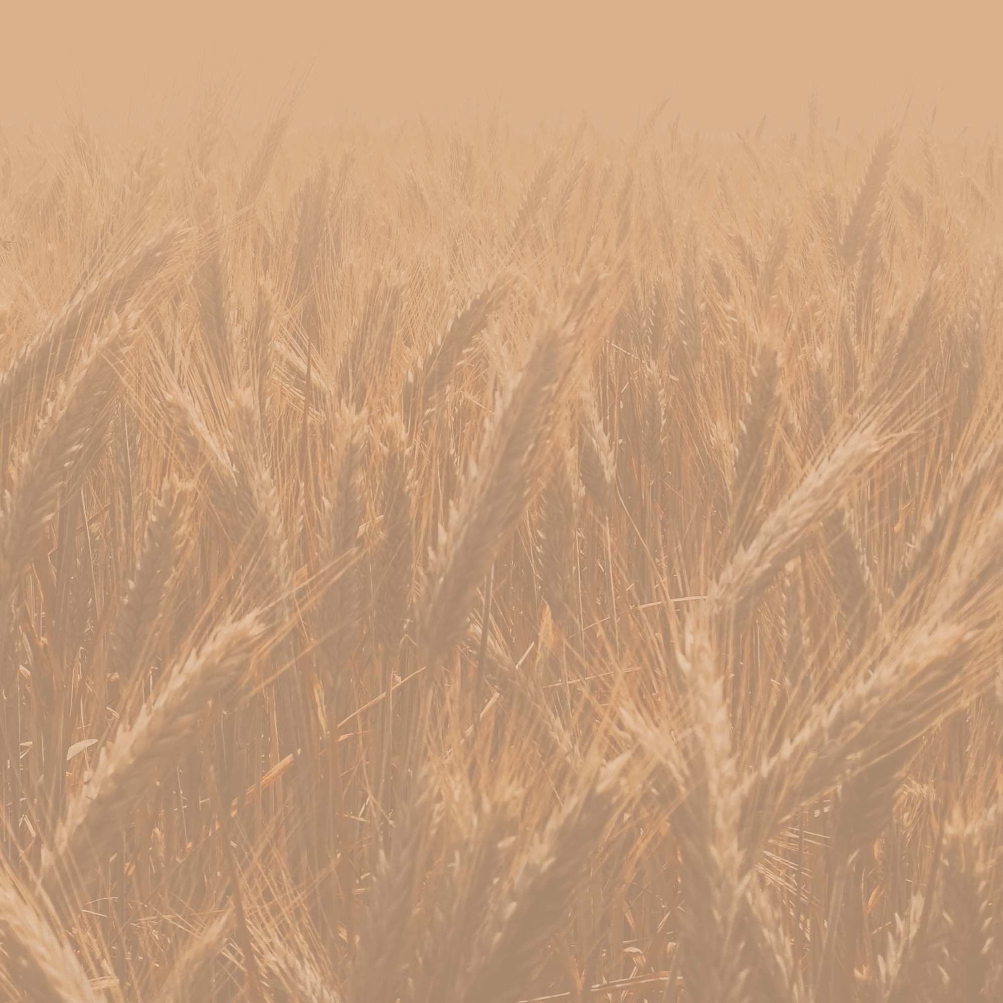 background image of wheat field
